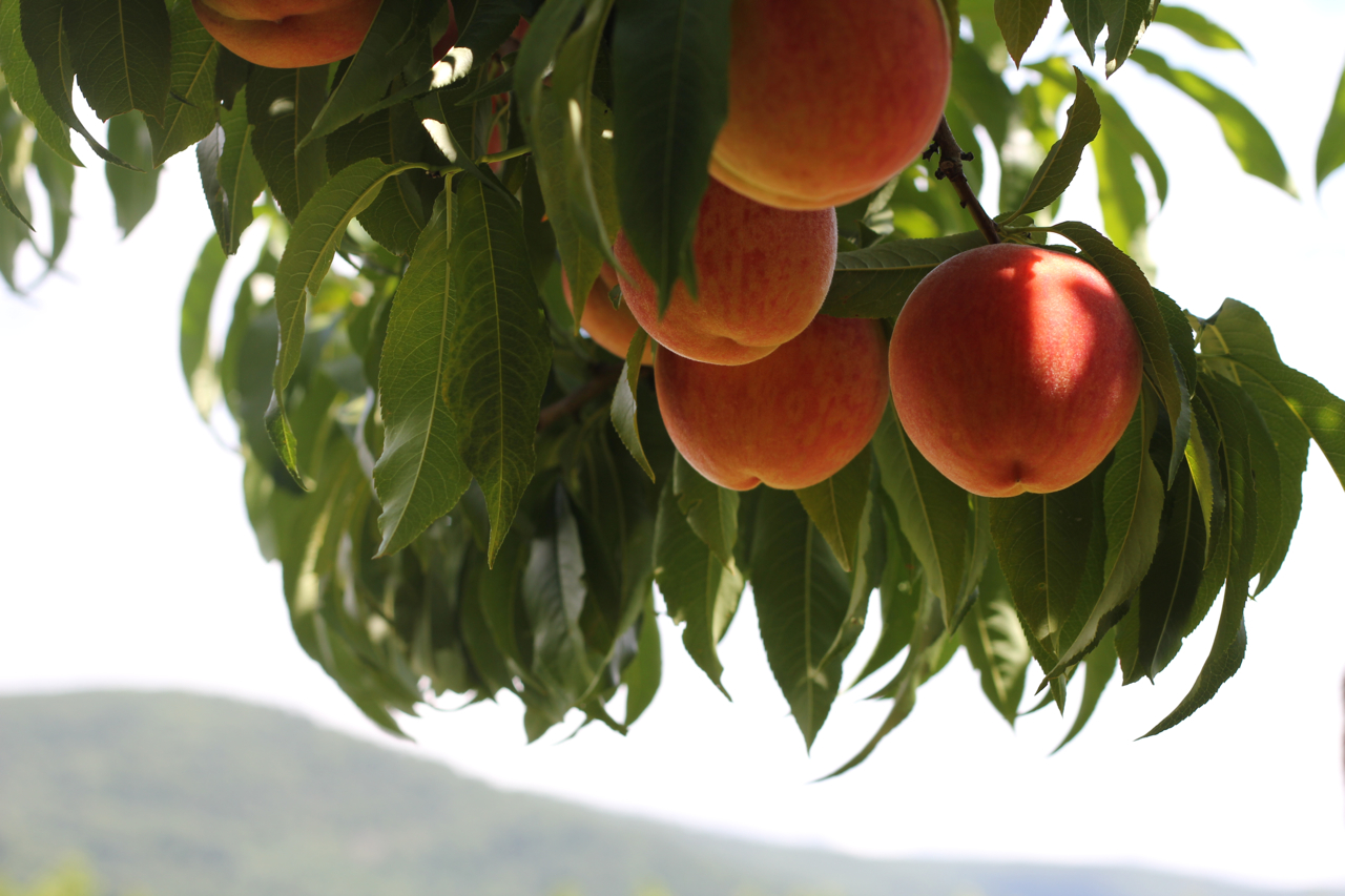 Out and About: Peach picking at Chiles Peach Orchard   The Italian ...