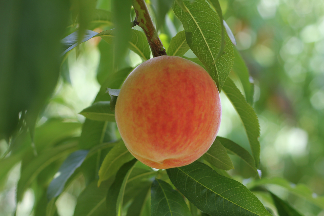 Out and About: Peach picking at Chiles Peach Orchard | The Italian ...